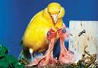 Домашно канарче