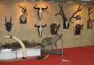 Уникална колекция от африкански и азиатски ловни трофеи