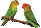 Неразделни папагали