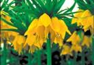 Фритиларията – императорското цвете