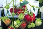 Ягоди на балкона