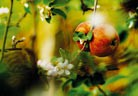 Защита от струпясване  и ябълков плодов червей